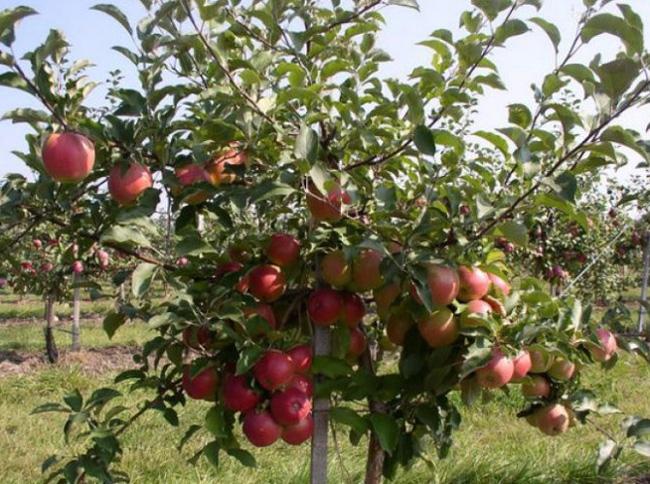 Яблоня Лигол изображение 5