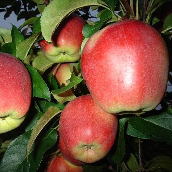 Яблоня Лигол изображение 1