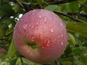 Яблоня Орлик 4