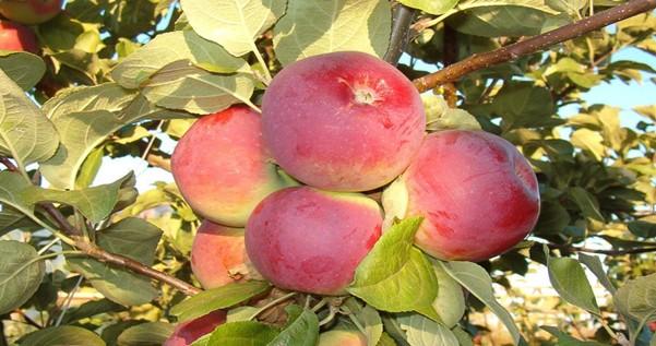 Яблоня Орлик 1