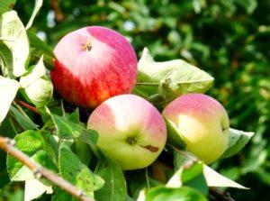 Яблоня Орлик 3