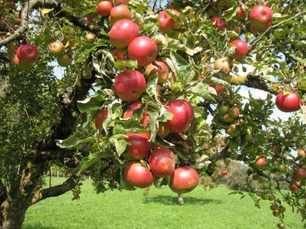 Яблоня Орлик 2
