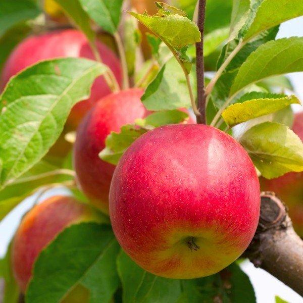 Яблоня Палитра изображение 1