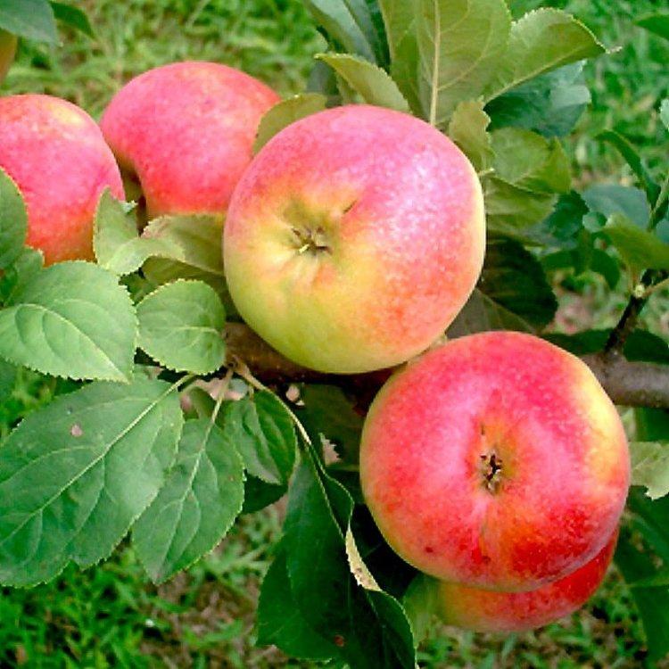 Яблоня Палитра изображение 3