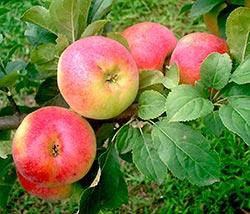 Яблоня Палитра изображение 2