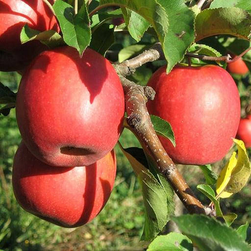 Яблоня Пинк Леди изображение 4