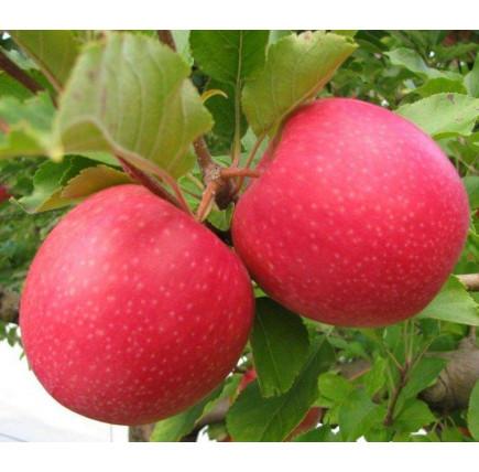 Яблоня Пинк Леди изображение 1
