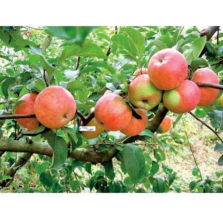 Яблоня Пинк Леди изображение 2