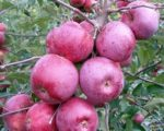 Яблоня «Подарок Графскому»