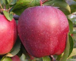 Яблоня Рихард