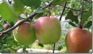Яблоня Зимняя красавица 5