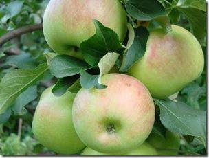 Яблоня Зимняя красавица 4