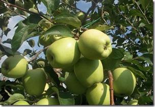 Яблоня Зимняя красавица 3