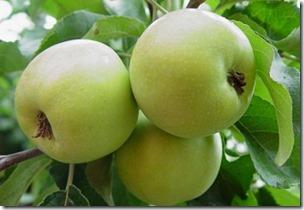 Яблоня Зимняя красавица 2