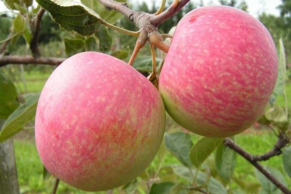 Яблоня Зимняя красавица 1