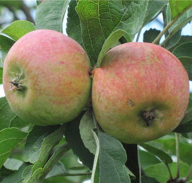 Яблоня Коробовка 2