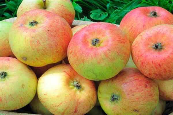 Яблоня Коробовка 1