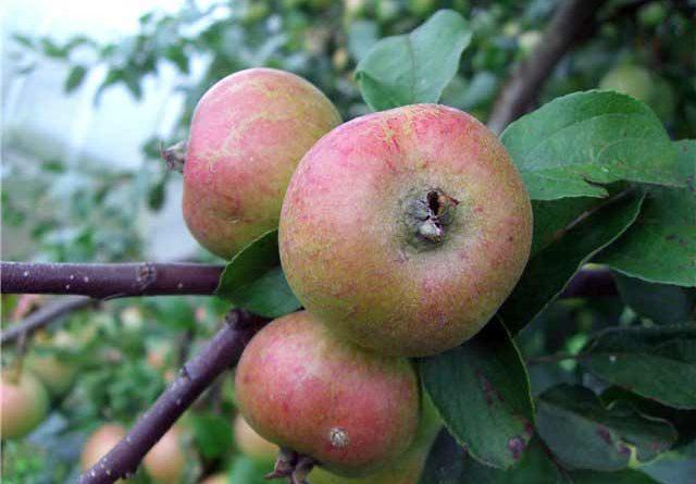 Яблоня Коробовка 5