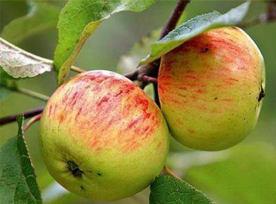 Яблоня Коробовка 6