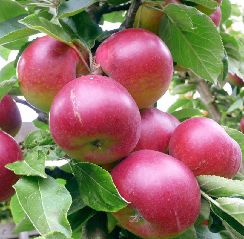 Яблоня Звездочка изображение 4