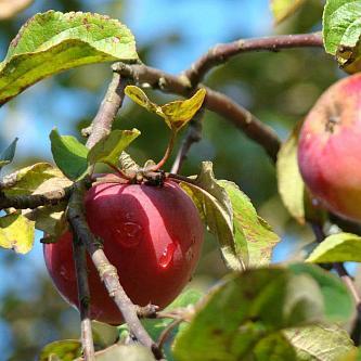 Яблоня Звездочка изображение 1