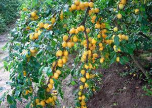 дерево жёлтой сливы