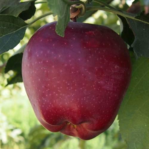 Яблоня Старкримсон 5