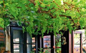 виноград в дизайне участка