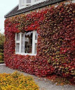 девичий виноград на доме