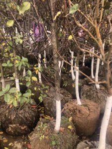 крупномеры вишни