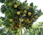 Айва Константинопольская яблочная
