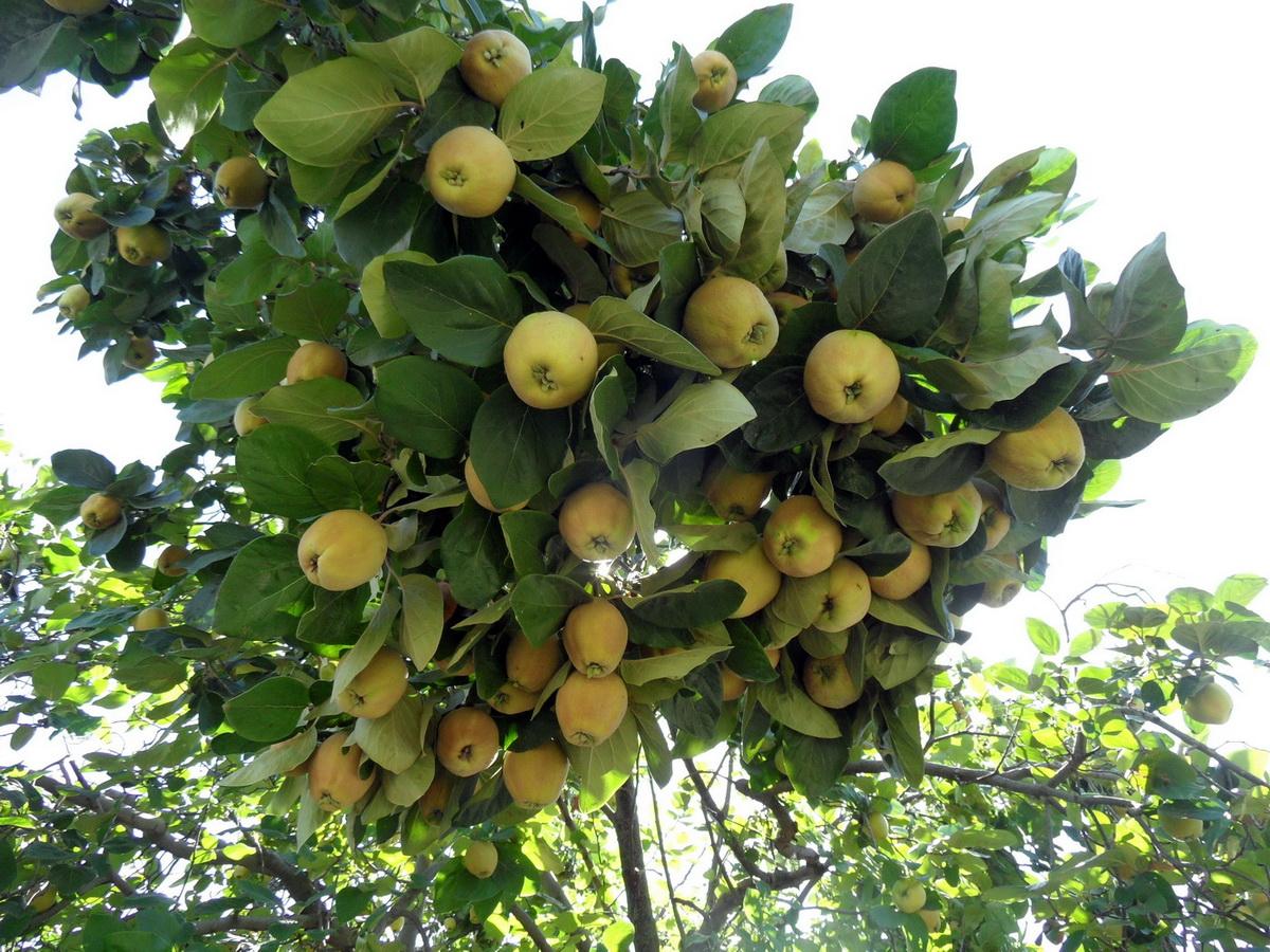 Айва Константинопольская яблочная 1