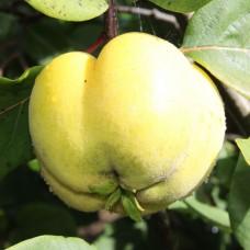 Айва Константинопольская яблочная 3