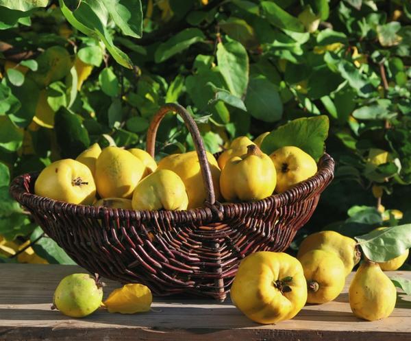 Айва Константинопольская яблочная 4