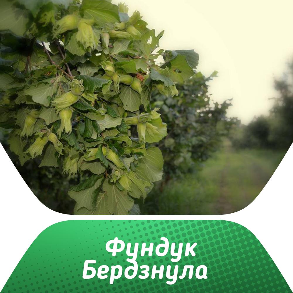 Фундук Бердзнула изображение 2