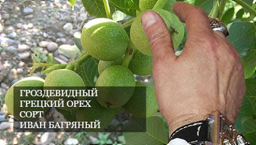 Орех Грецкий Скороплодный Иван Багряный изображение 4