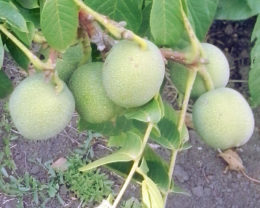 Орех Грецкий Скороплодный Левина