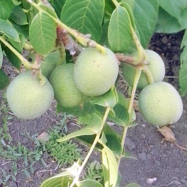 Орех Грецкий Скороплодный Левина изображение 1