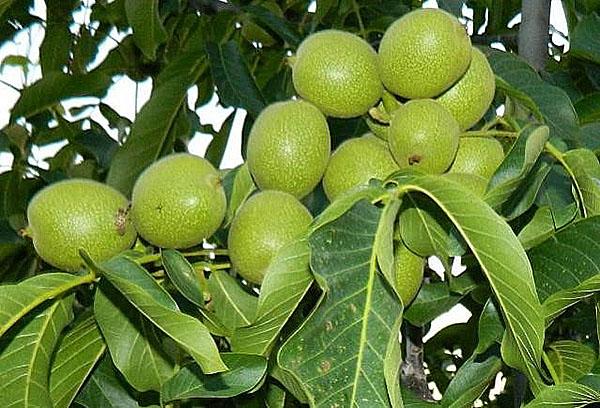 Орех Грецкий Скороплодный Левина изображение 3