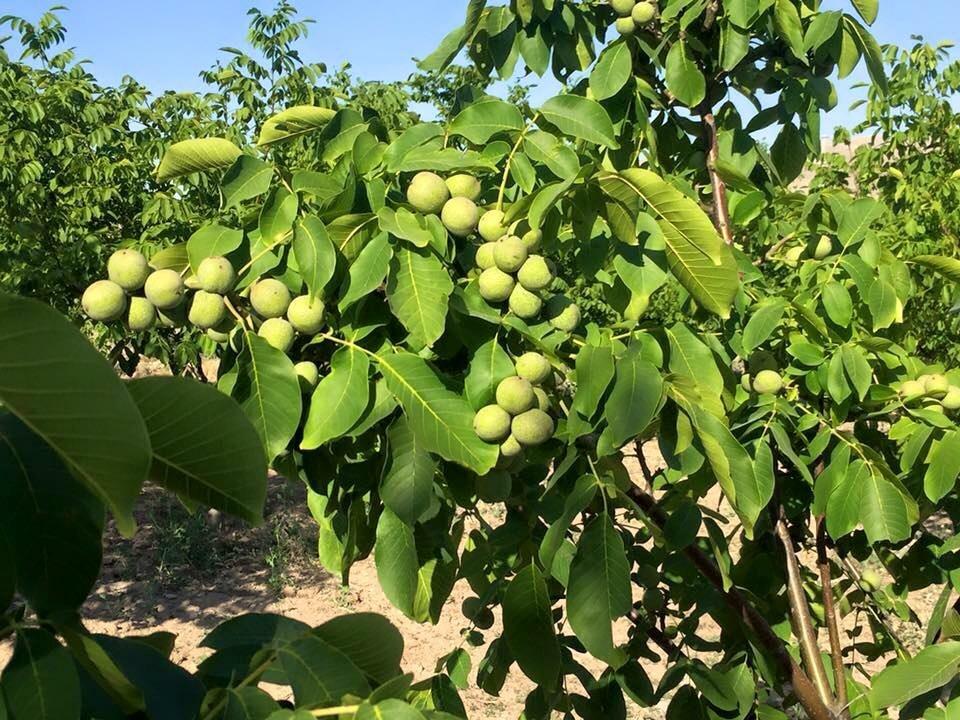 Орех Грецкий Урожайный изображение 1