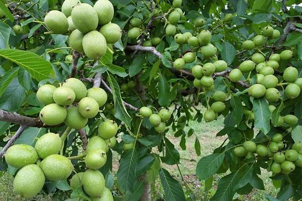 Орех Грецкий Урожайный изображение 2