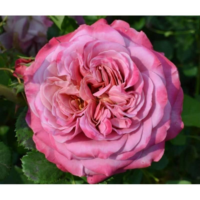Роза Агнес Шиллингер 1
