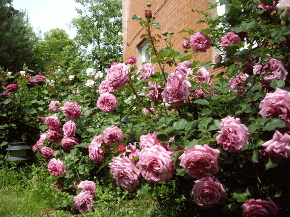 Роза Агнес Шиллингер 4
