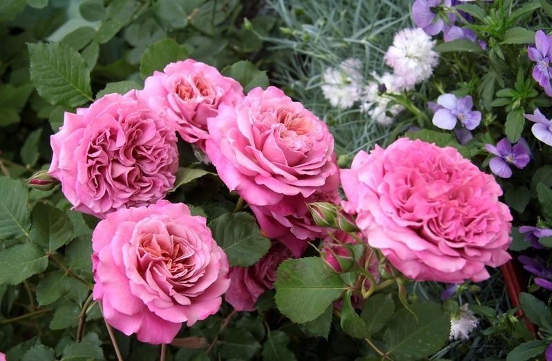 Роза Агнес Шиллингер 3