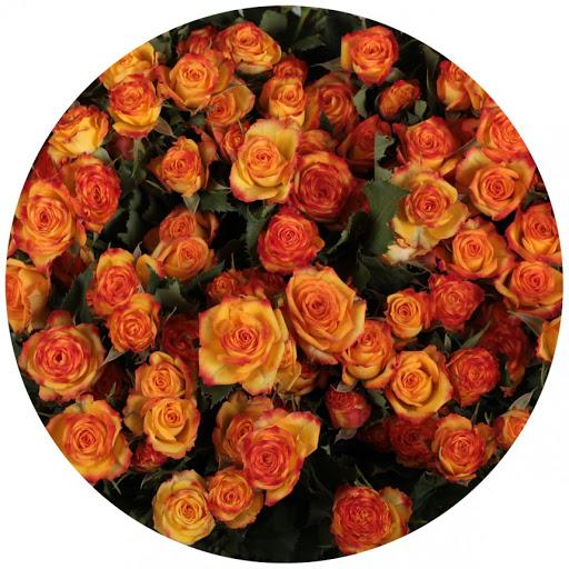 Роза Айлайнер 1