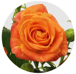 Роза Айлайнер 2