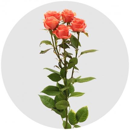 Роза Айя София 3