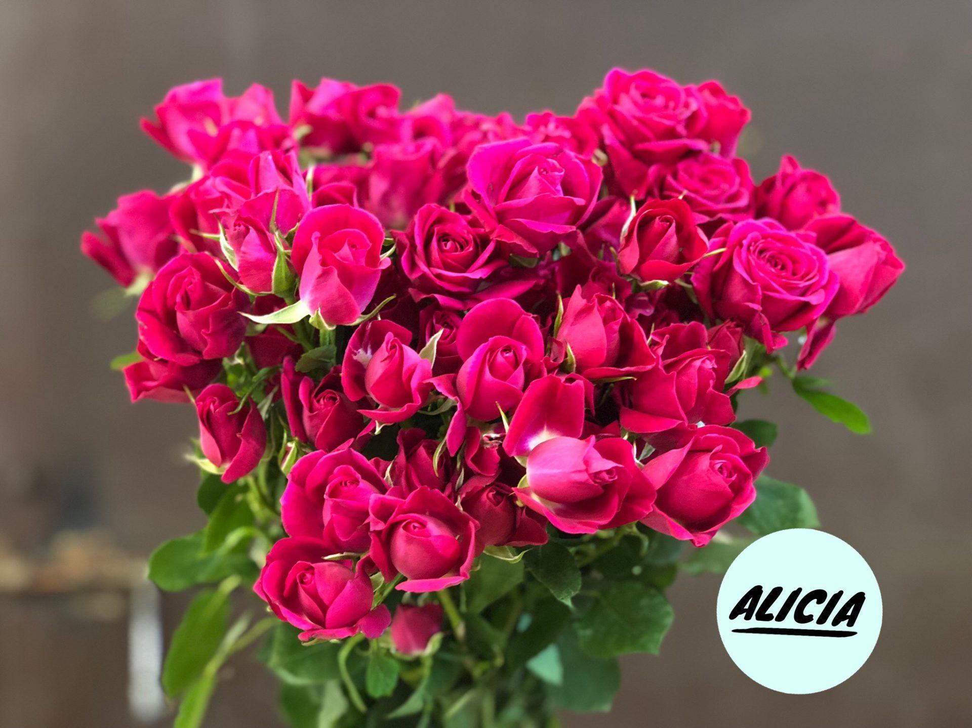 Роза Алисия изображение 1
