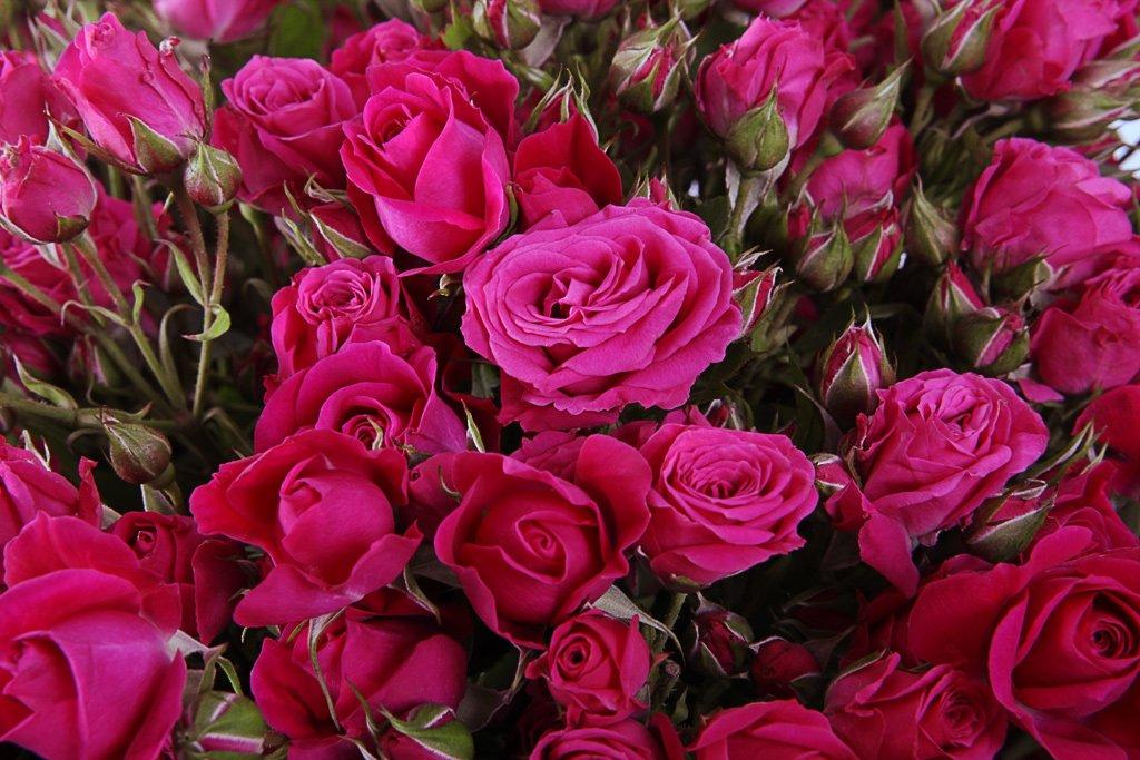 Роза Алисия 2