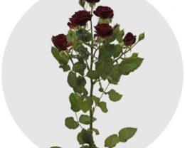 Роза Амата